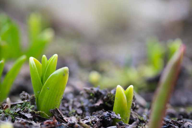 New tulips in the ground