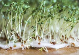 Cress in cotton wool