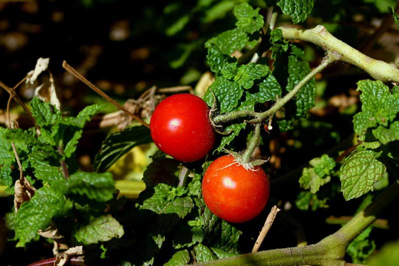Two tomatoes on plant