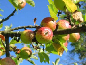 Apple tree with blue sky background