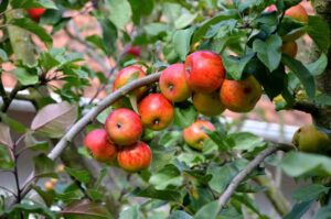 Small apples