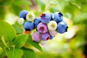 Blueberry plant with ripe and unripe berries