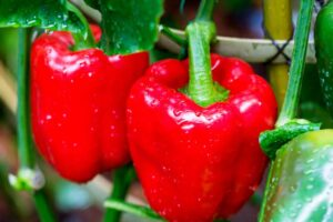 Red bell peppers on plant
